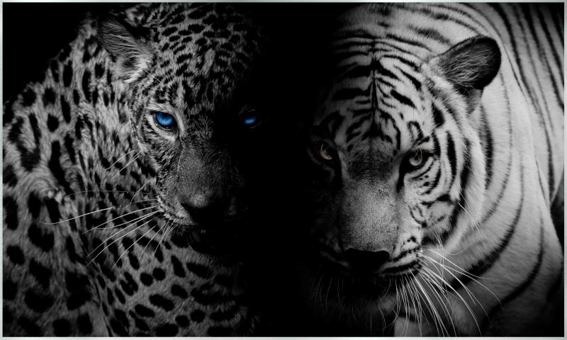 Tiger / Jaguar Motiv - 006