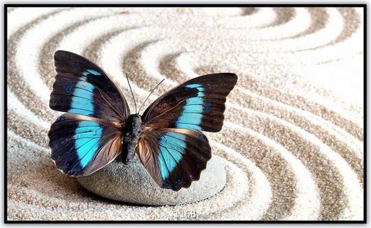 Schmetterling 116