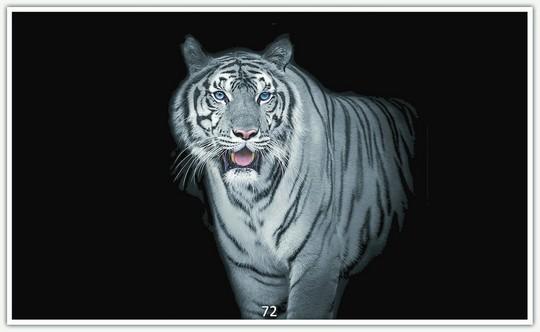 Tiger 72